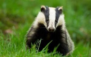 Badger!